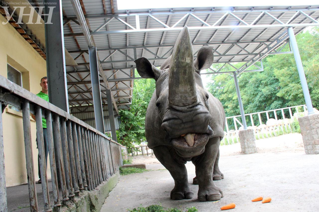 У Київському зоопарку привітали носорога-довгожителя із днем народження - фото 2