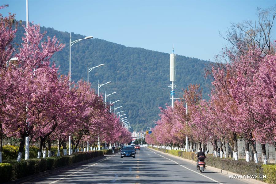 В южном Китае зацвели зимние вишни - фото 5