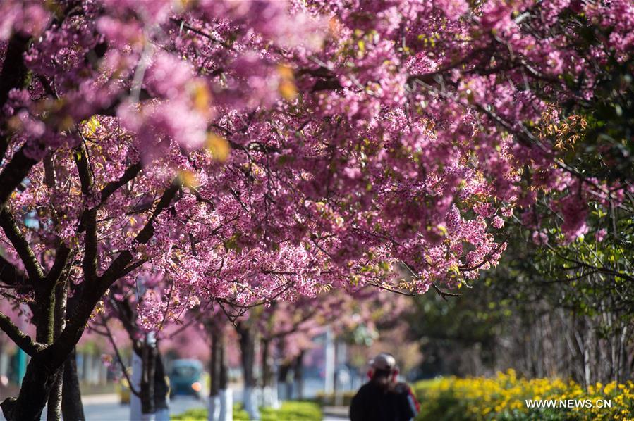 В южном Китае зацвели зимние вишни - фото 3
