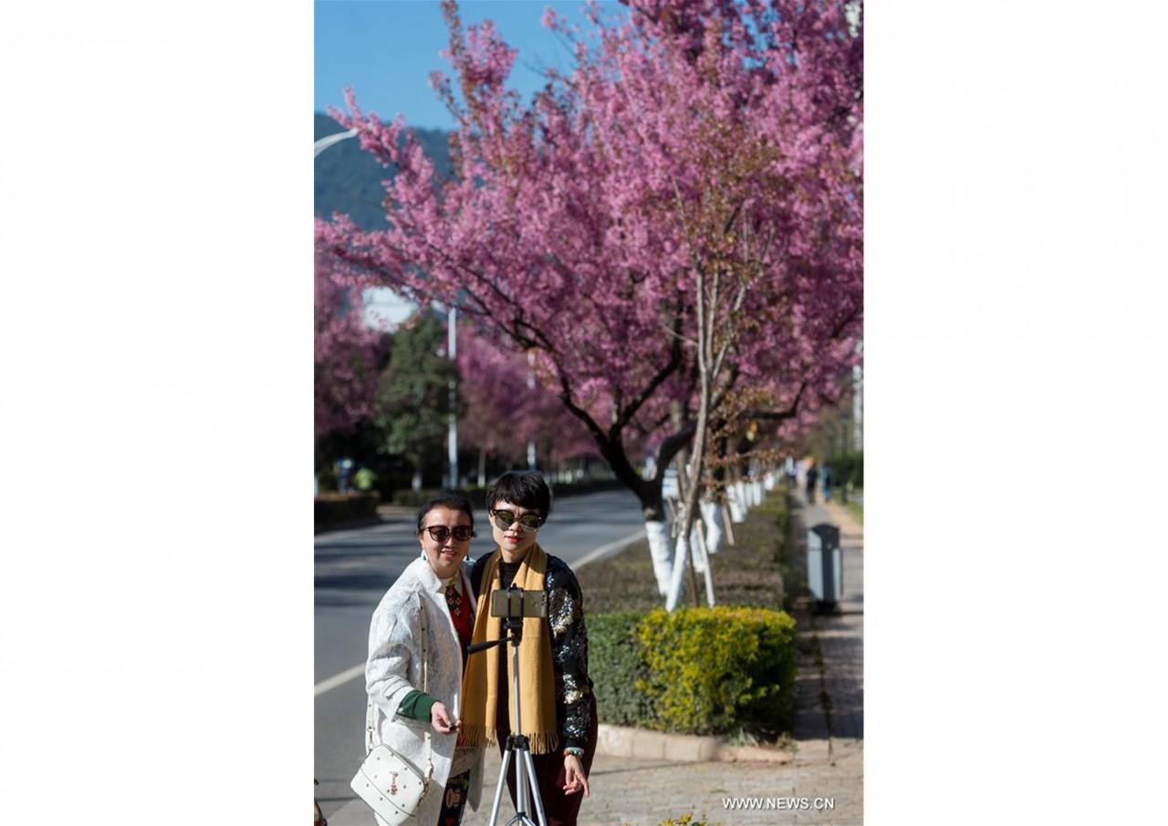 В южном Китае зацвели зимние вишни - фото 11