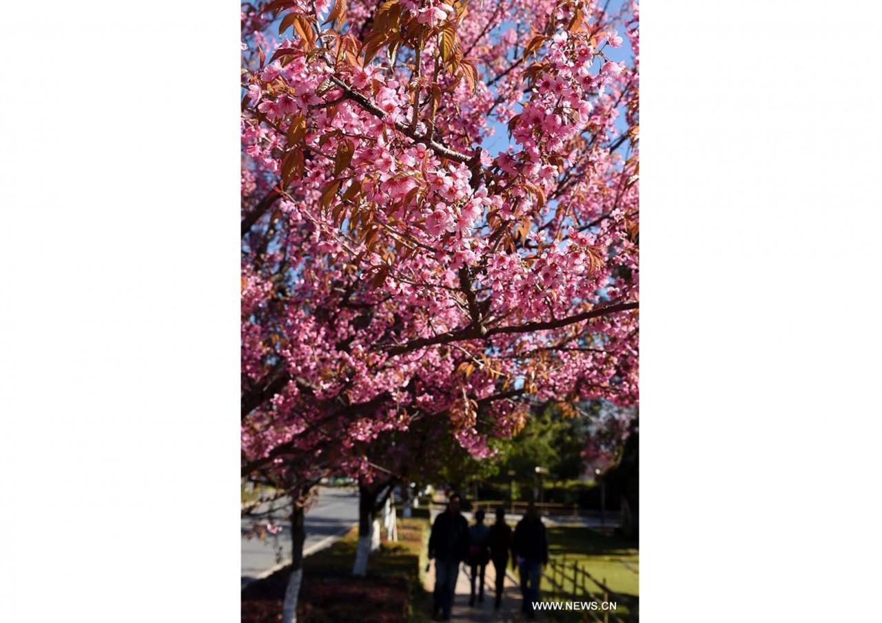 В южном Китае зацвели зимние вишни - фото 8