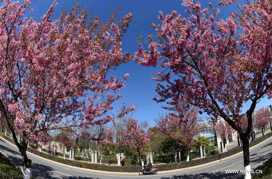 В южном Китае зацвели зимние вишни - фото 2