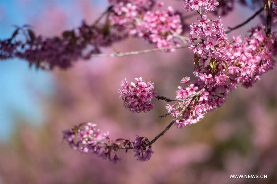 В южном Китае зацвели зимние вишни - фото 4