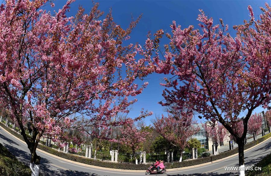 В южном Китае зацвели зимние вишни - фото 9