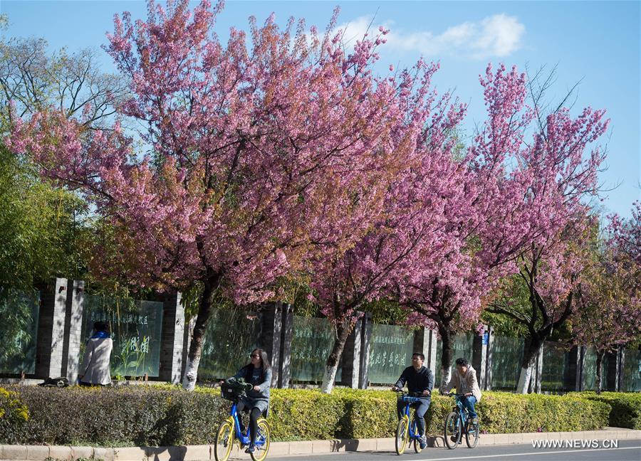 В южном Китае зацвели зимние вишни - фото 7