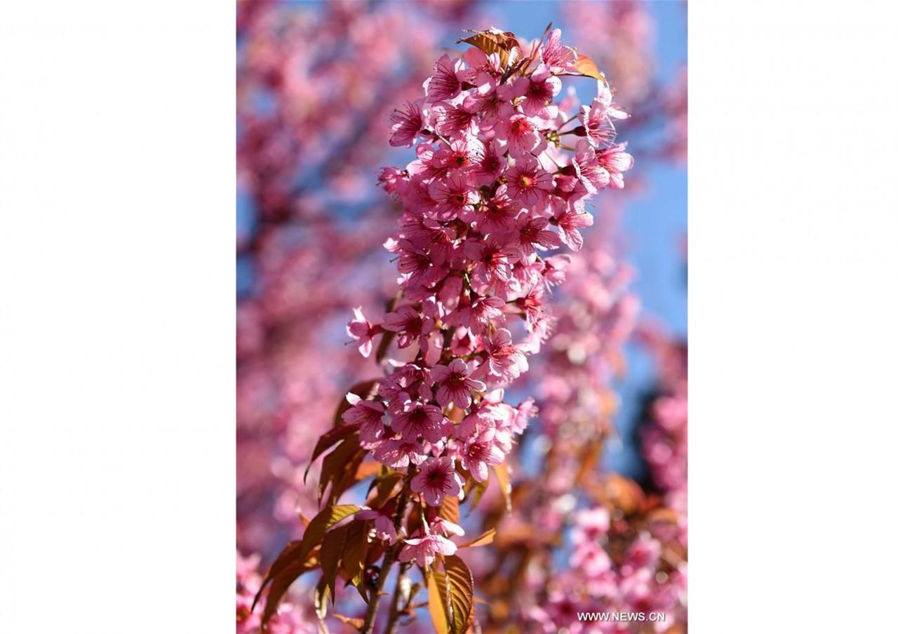 В южном Китае зацвели зимние вишни - фото 10