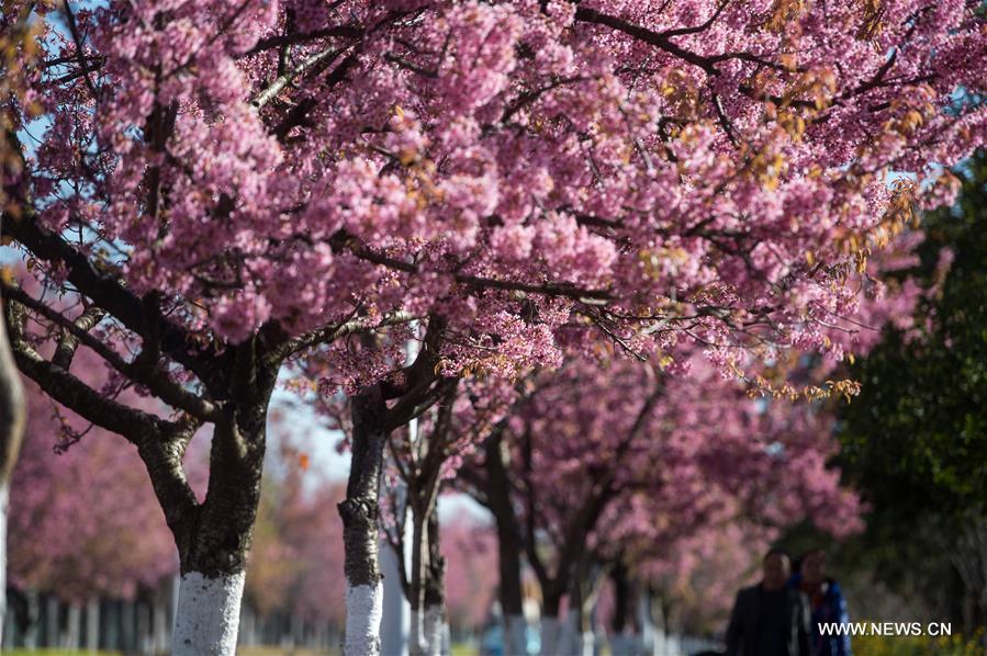 В южном Китае зацвели зимние вишни - фото 1