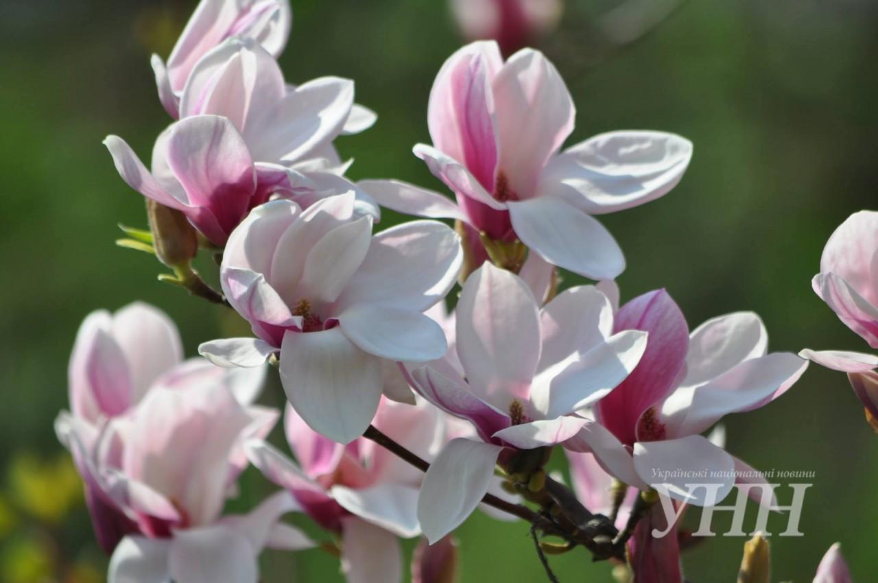 Ужгород перетворюється у місто рожевого квіту