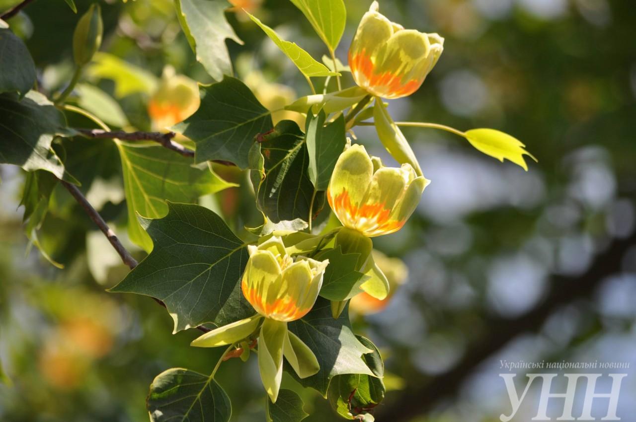 ВУжгороді зацвіло тюльпанове дерево