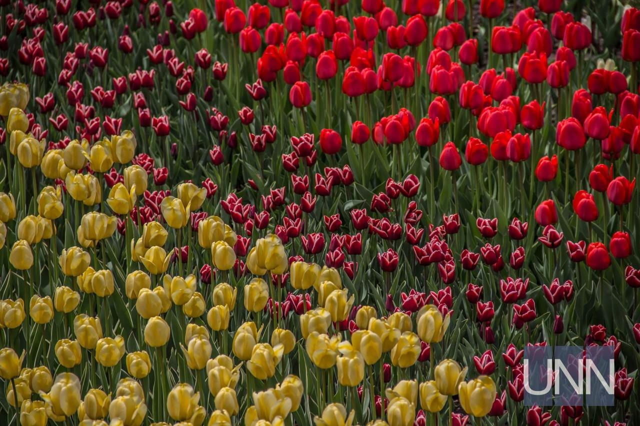 УКиєві відкрилася велика виставка тюльпанів