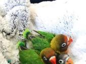 Twitter покорила история любви попугаев-неразлучников - фото 5