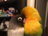 Twitter покорила история любви попугаев-неразлучников - фото 2