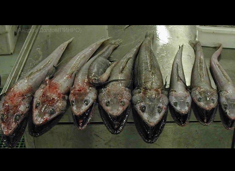 Парад химерних риб: моряк показав мешканців морських глибин - фото 7