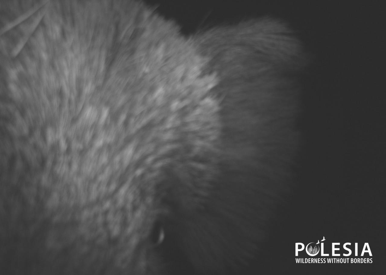 """Чей """"глаз"""" там подмигивает? Появились снимки животных, которые рассматривают фотоловушки в Чернобыльском заповеднике - фото 1"""