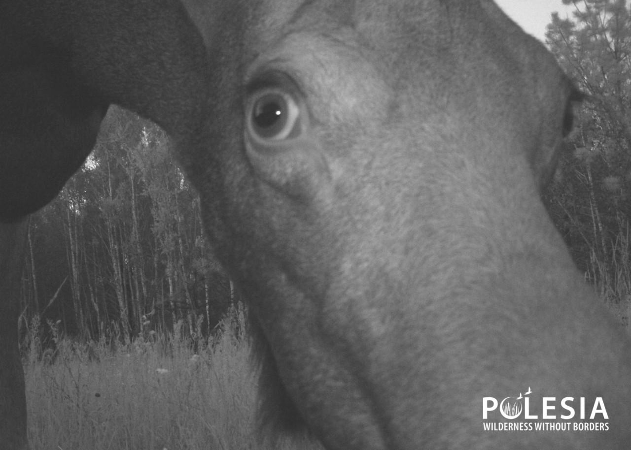 """Чей """"глаз"""" там подмигивает? Появились снимки животных, которые рассматривают фотоловушки в Чернобыльском заповеднике - фото 8"""