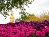 Над композицией работали более 15 дизайнеров: на Певческом открыли выставку с более 700 тысяч тюльпанов - фото 31