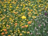 Над композицией работали более 15 дизайнеров: на Певческом открыли выставку с более 700 тысяч тюльпанов - фото 17