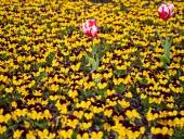 Над композицией работали более 15 дизайнеров: на Певческом открыли выставку с более 700 тысяч тюльпанов - фото 9