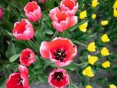 Над композицией работали более 15 дизайнеров: на Певческом открыли выставку с более 700 тысяч тюльпанов - фото 28