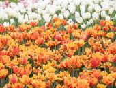 Над композицией работали более 15 дизайнеров: на Певческом открыли выставку с более 700 тысяч тюльпанов - фото 20