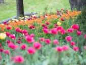 Над композицией работали более 15 дизайнеров: на Певческом открыли выставку с более 700 тысяч тюльпанов - фото 30