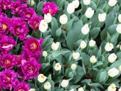 Над композицией работали более 15 дизайнеров: на Певческом открыли выставку с более 700 тысяч тюльпанов - фото 24