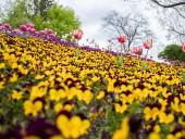 Над композицией работали более 15 дизайнеров: на Певческом открыли выставку с более 700 тысяч тюльпанов - фото 16