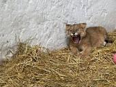 Из-за жестокого обращения со страусиной фермы под Киевом забрали медвежат и львят - фото 3