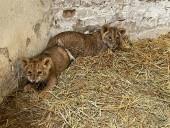 Из-за жестокого обращения со страусиной фермы под Киевом забрали медвежат и львят - фото 1