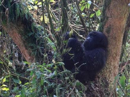 Восточная горилла пополнила список животных, расположившихся под угрозой исчезновения