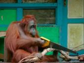 Самка орангутанга научилась пользоваться пилой