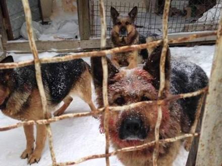 НаВинничине бойцовские собаки загрызли пенсионерку