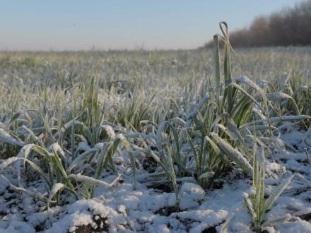 Похолодання суттєво не вплине на урожай зернових – Мінагрополітики
