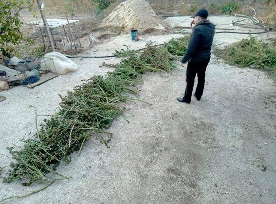 gordonua.com В Херсонской области изъяли марихуану на миллион гривен a447b451e2cef