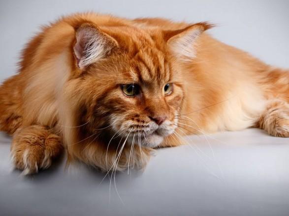 Найбільшого кота в Україні внесуть до Книги рекордів (12.99 26) 91c05e2e07475