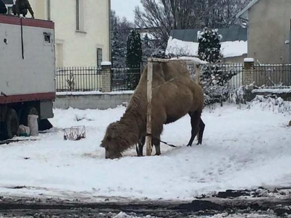 УТернопільській області пересувний цирк залишив верблюда