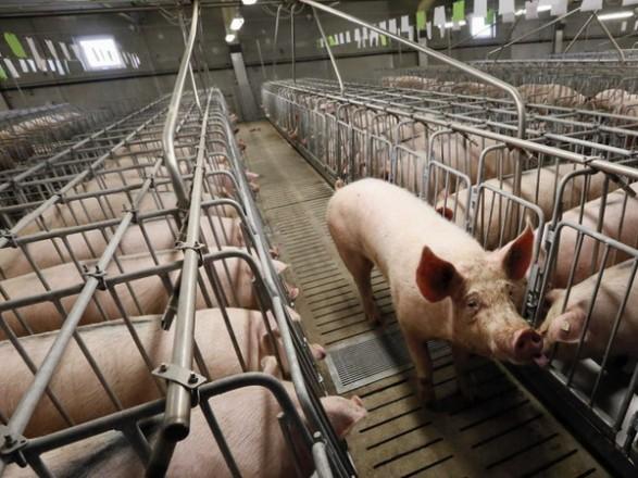 африканская чума свиней ярославль 2016 потребуется паспорт