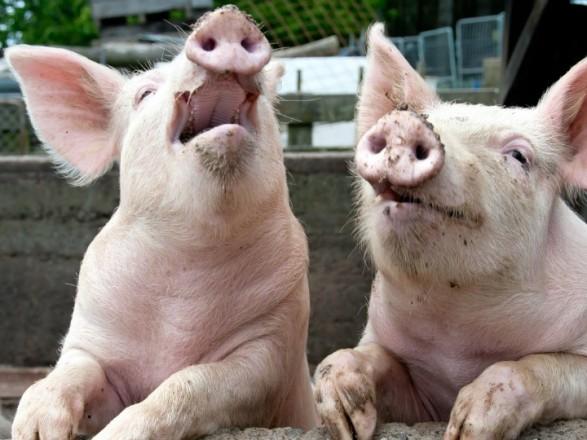 """Поголів'я свиней знову скоротилося: показник """"просів"""" ще на 8%"""