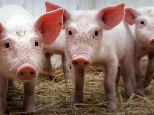 Поголів'я свиней в Україні скоротилося майже на 5% – статистика