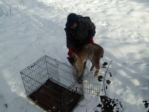 У Житомирі на території медцентру спіймали рись