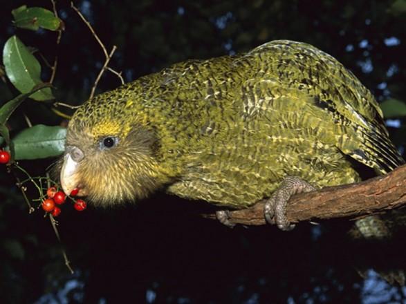 Унікальний вид птахів зникне назавжди