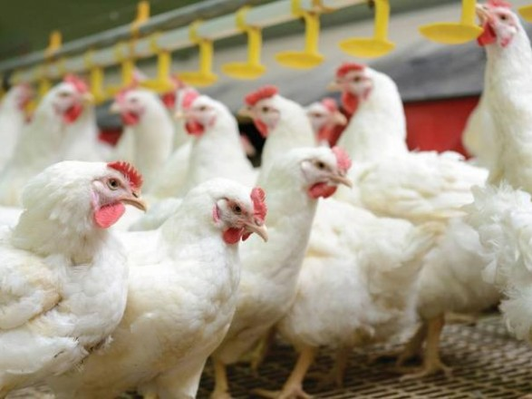 Производство курятины: как вертикальная интеграция влияет на биобезопасность