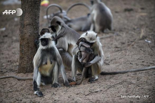 В Индии обезьяны остались без еды из-за коронавируса