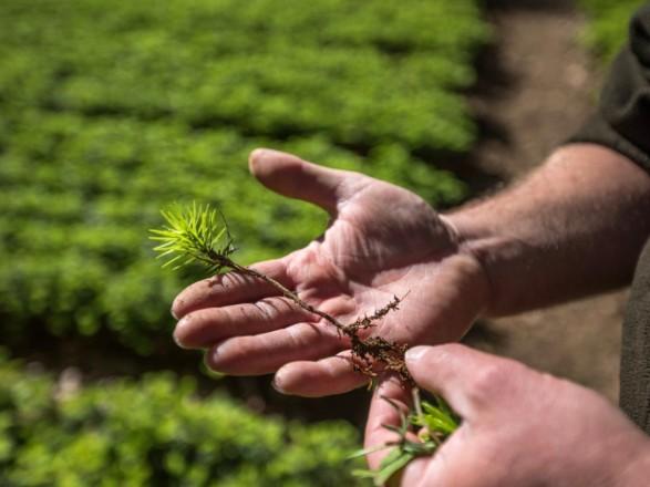 В горных районах Карпат уже высажено более 3,5 млн деревьев - Гослесагентство