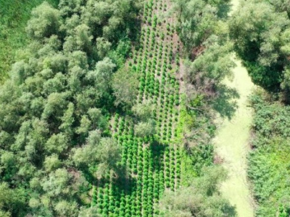 В Одесской области нашли плантацию конопли на 40 млн гривен
