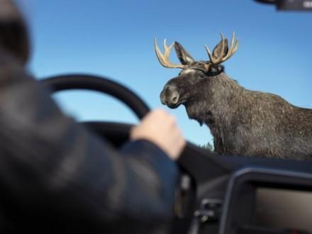 В Киеве сбили лося, который разгуливал по городу