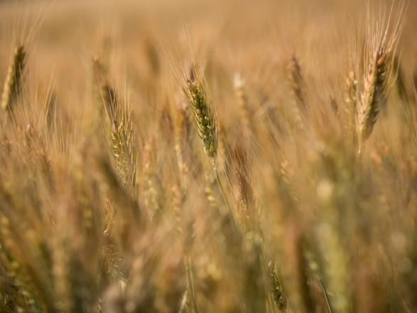 Украинские аграрии намолотили уже 45,7 млн тонн зерна