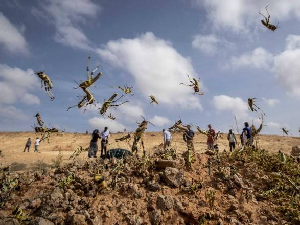 В Сомали объявлено чрезвычайное положение из-за нашествия саранчи