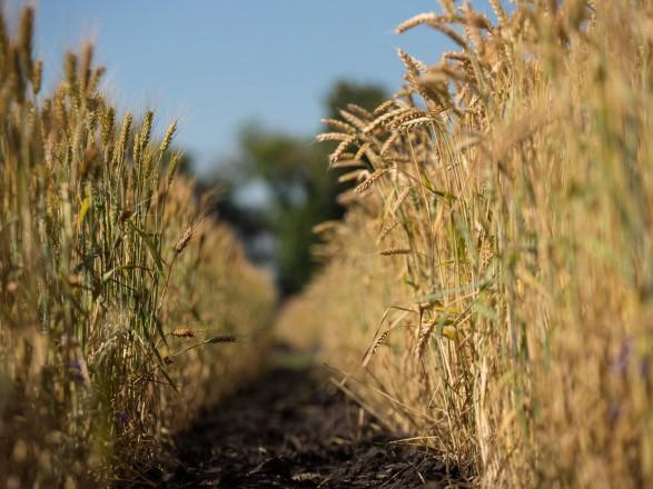 Влияние погоды на урожай: эксперт говорит, около 90% озимых культур в хорошем состоянии