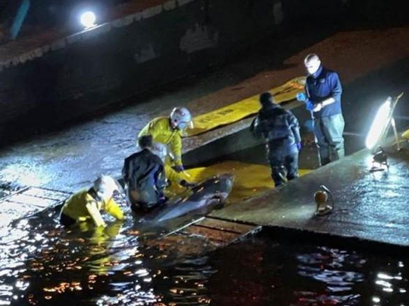 В шлюзе Темзы застрял детеныш кита: всю ночь его пытались освободить спасатели, после чего усыпили